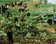 北朝鮮の野菜畑