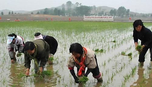 北朝鮮の協同農場での田植え戦闘