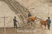 牛で畑を耕す北朝鮮の農民