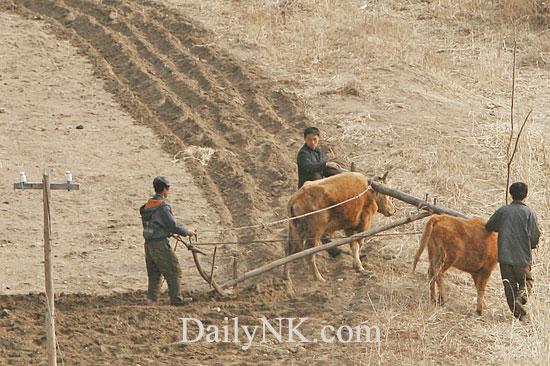 牛で畑を耕す北朝鮮の農民(本文とは関係ありません)